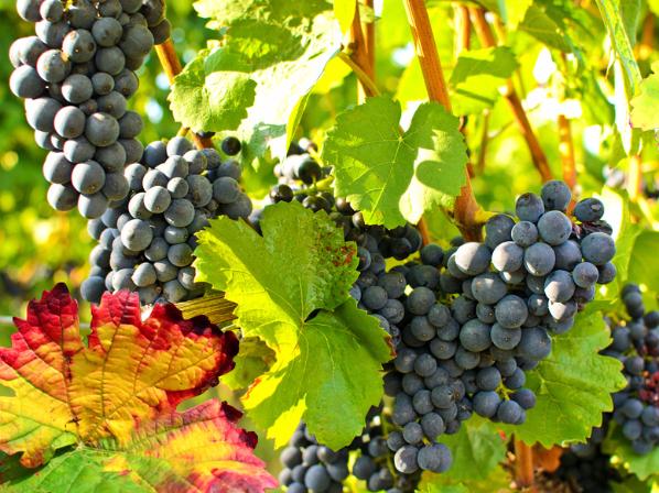 Herbst: süße, reife, blaue Trauben :) - Herbstkur Naturheilpraxis Gisela Frede
